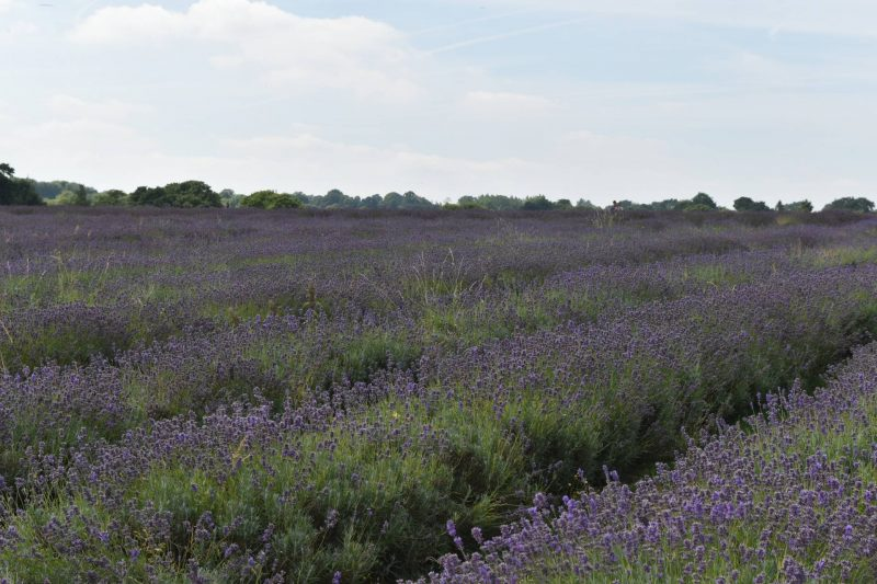 Mayfield Lavender Fields